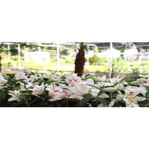 Beyaz Lilyum Çiçeği