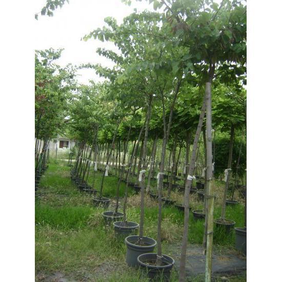 9967 erguvan ağaç cercis siliquastrum tezel fidan üretim