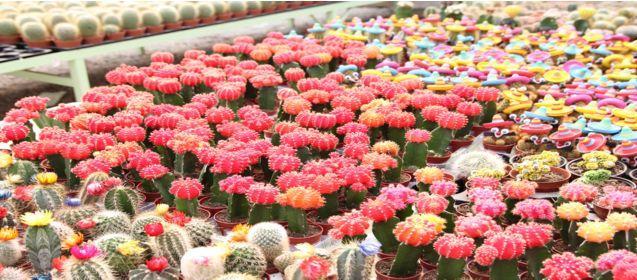 10145-Renkli Kaktüsler -Nema Çiçekçilik Sera ve Pazarlama Ltd. Şti.-