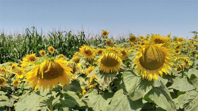 216861-Sunflower Seed-Osterras Tarim Veterinerlik San. ve Tic. A. S.